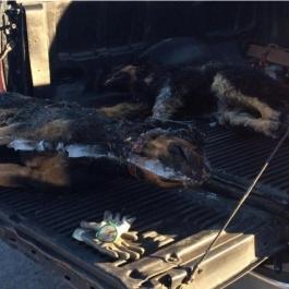 Deux chiens retrouvés complètement massacrés