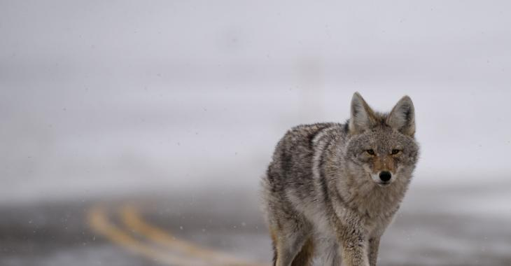 Plusieurs Québécois mordus par des coyotes