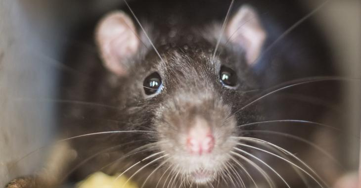 Les rats sont affamés et plus agressifs en raison du confinement