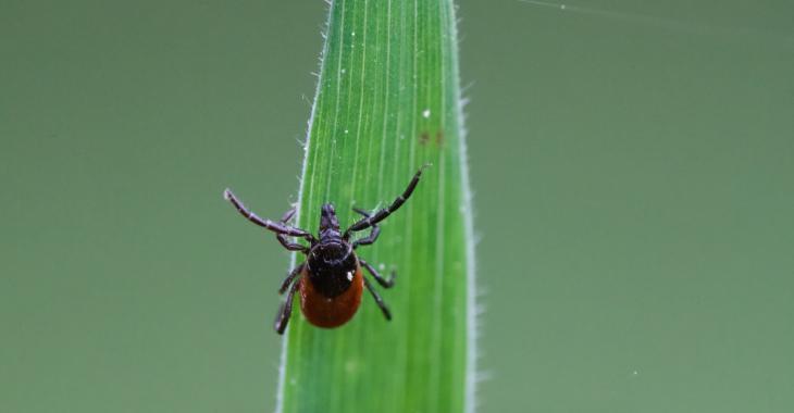 À Saint-Félicien, des tiques porteuses de la maladie de Lyme suscitent une certaine inquiétude