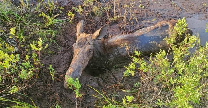 Un père et son fils sauvent un orignal pris au piège dans de la boue