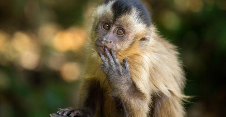Des singes maltraités forcés de récolter des noix de coco pour des produits alimentaires, dénonce PETA