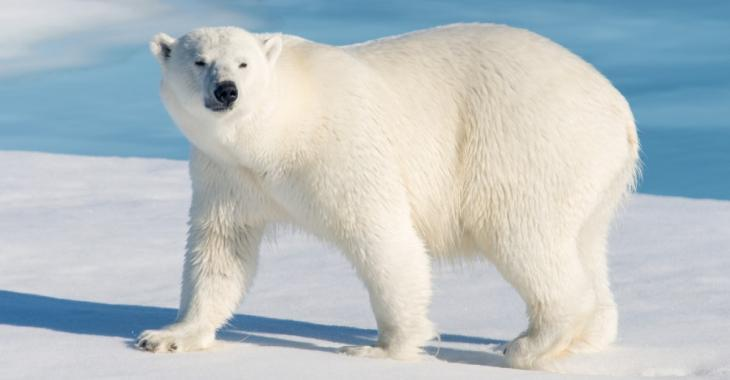 Les ours polaires pourraient complètement disparaître d'ici 2100