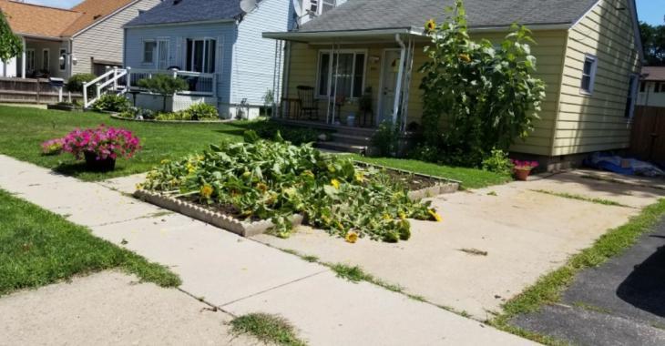 Forcé de couper les tournesols de son terrain car ils sont un «enjeu de sécurité» selon la ville