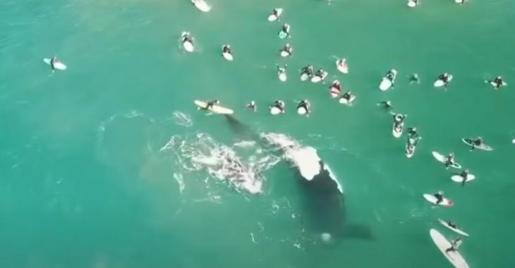 Une baleine chasse des surfeurs avec sa queue pour protéger son bébé