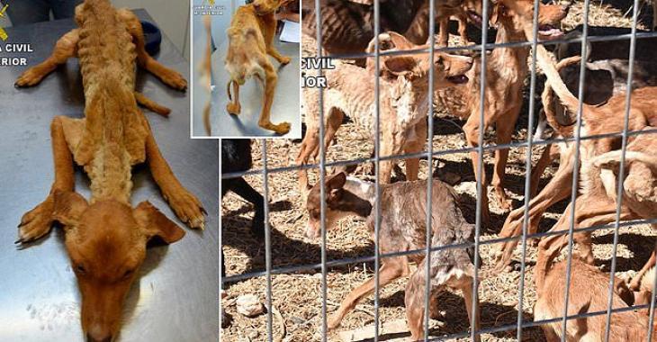 41 chiens affamés qui n'avaient que la peau sur les os sont sauvés d'une ferme