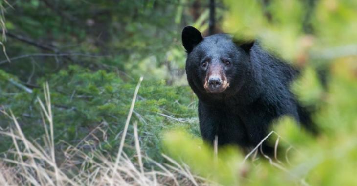Une femme de 44 ans est morte après avoir été attaquée par un ours
